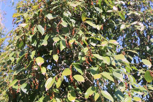 Tiêu đang chín rực cây. Ảnh: Nguyễn Khoa.