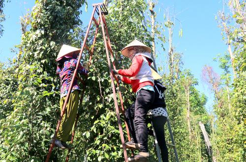 Lao động hái tiêu ở Bà Rịa - Vũng Tàu đang khan hiếm. Ảnh: Nguyễn Khoa.