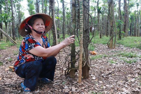 Tiêu rớt giá, nông dân thủ phủ Bình Phước lao đao - Ảnh 1.