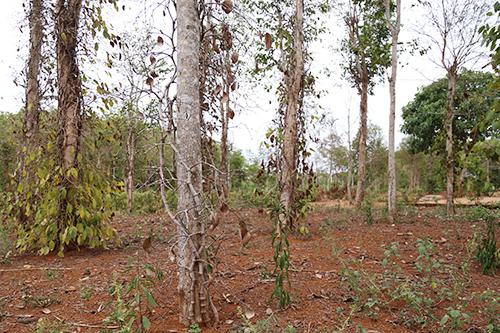 Nhiều vườn tiêu ở Quảng Trị bị chết khô, vàng lá do hạn hán. Ảnh: Hoàng Táo