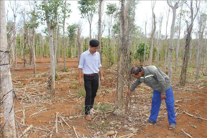 Khó khăn bủa vây người trồng tiêu Quảng Trị - Ảnh 1.