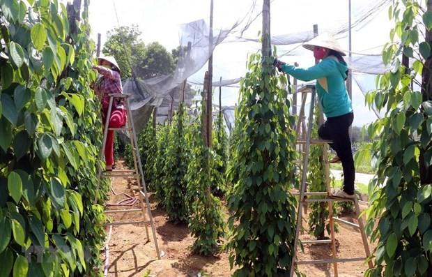 Lại thêm mùa 'đắng' tại 'thủ phủ' hồ tiêu Bình Phước - Ảnh 1.