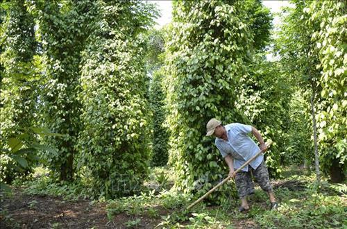 Mô hình trồng tiêu hữu cơ theo tiêu chuẩn quốc tế tại xã Gio An. Ảnh: Thanh Thủy-TTXVN