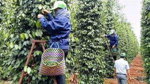 Thu hoạch hồ tiêu ở Việt Nam. Ảnh: Mekong Trails.